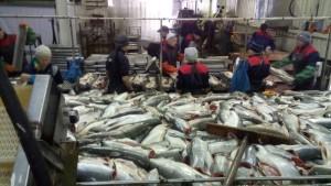 Много рыбы